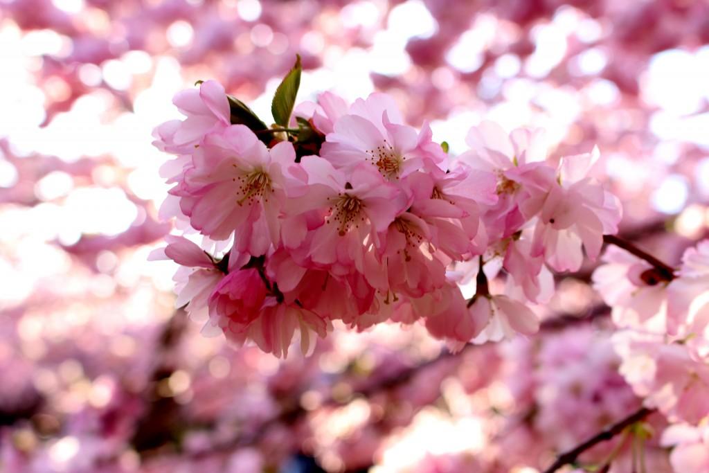 kirsebærtræer bispebjerg kirkegård