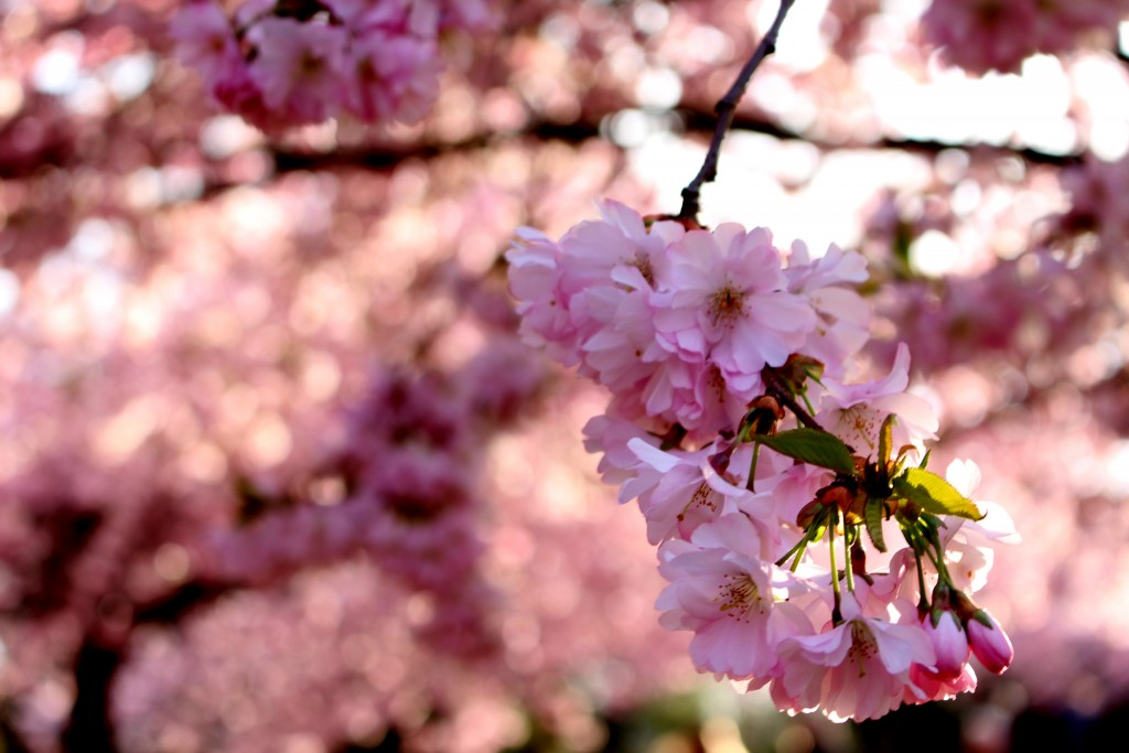 Kirsebærbloster