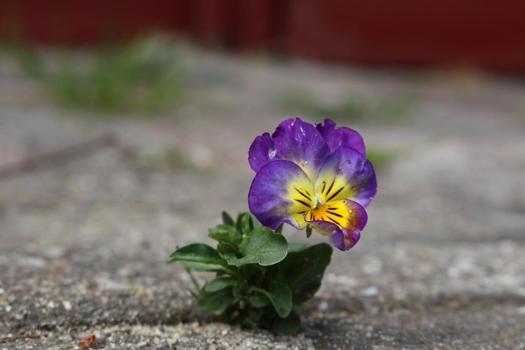 blomst kommer igennem asfalten