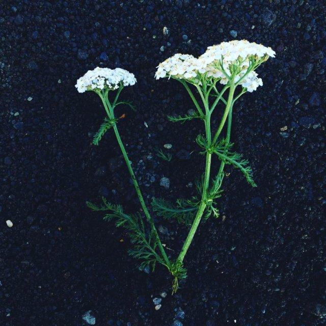 Sort sand giver prgtige fotomuligheder icelandicflora sortsand flora naturelower flowershellip